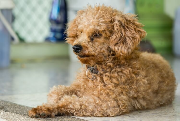 Corgi Poodle Mix Feature