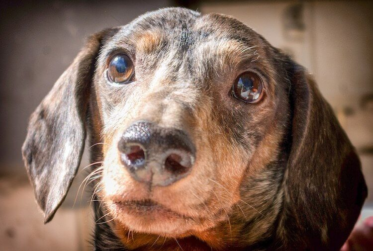 Dapple Dachshund Feature