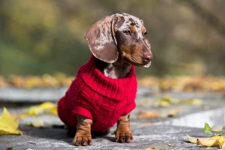 Dapple Dachshund In A Jumper