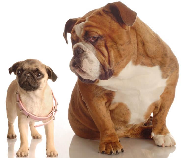 English Bulldog and Pug