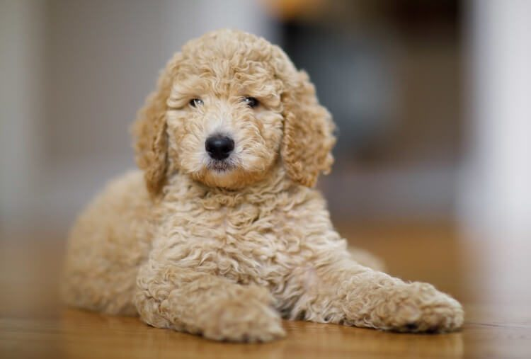 Fluffy Toy Poodle