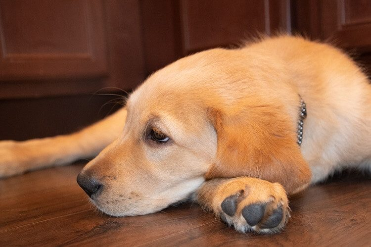 Golden Retriever Lab Mix
