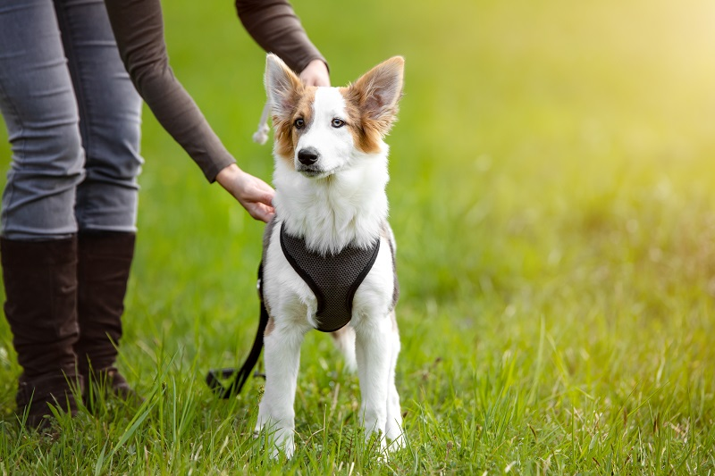 How-To-Put-On-A-Dog-Harness-Feature