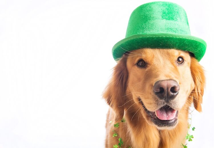 Irish Dog