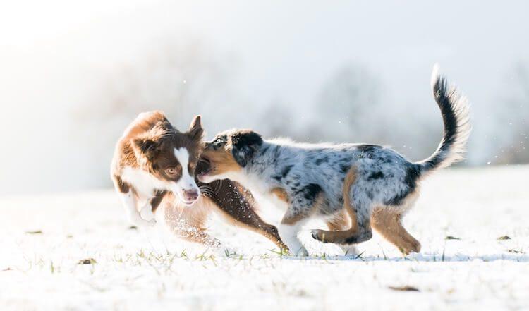 Mini Australian Shepherd Puppies