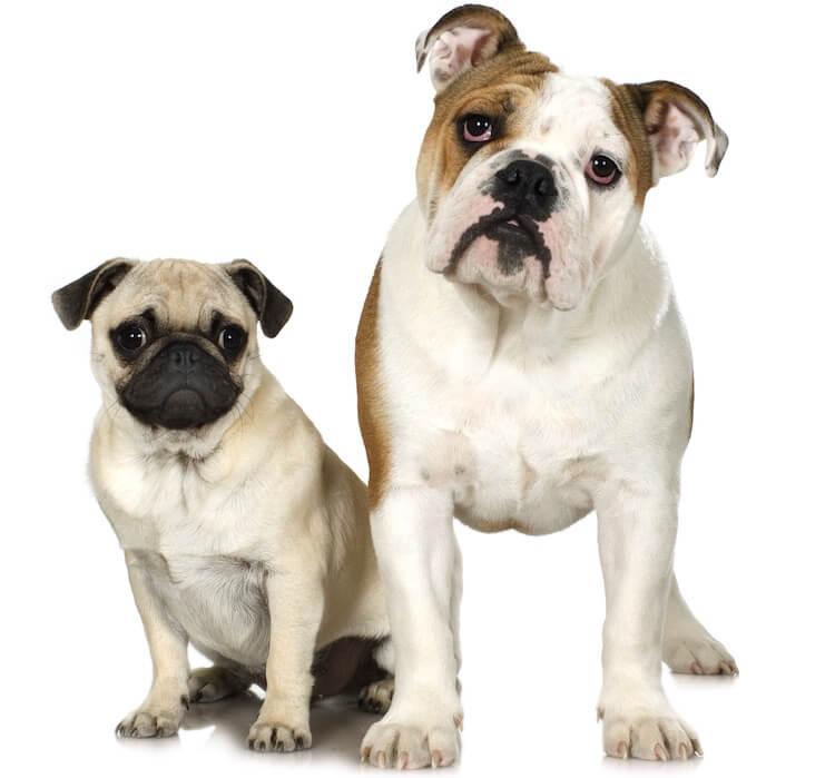 Mini Bulldog Parents