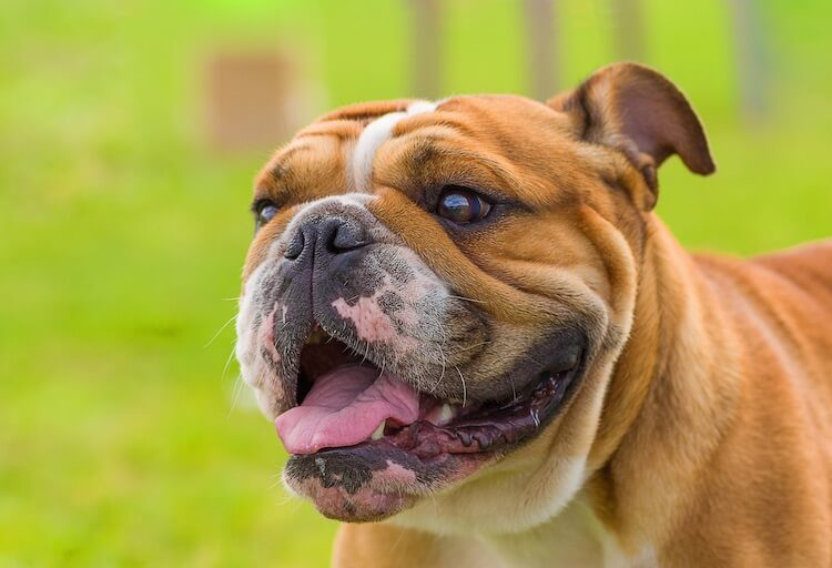 Miniature Bulldog A Complete Guide To