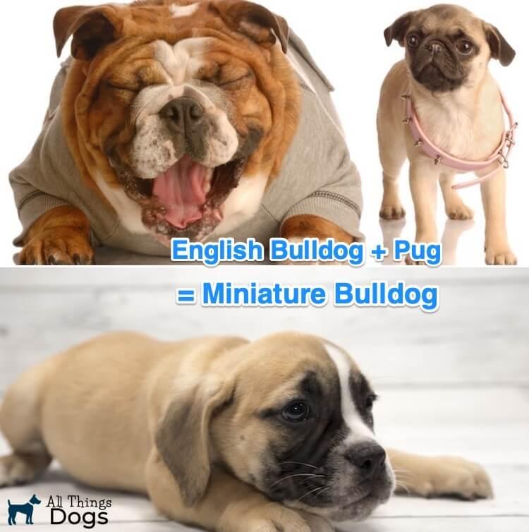 Miniature Bulldog Dog
