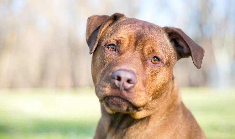 Pitbull Mix Dog