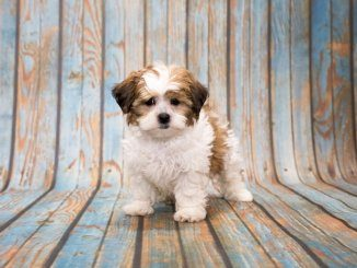 Shih Poo Feature