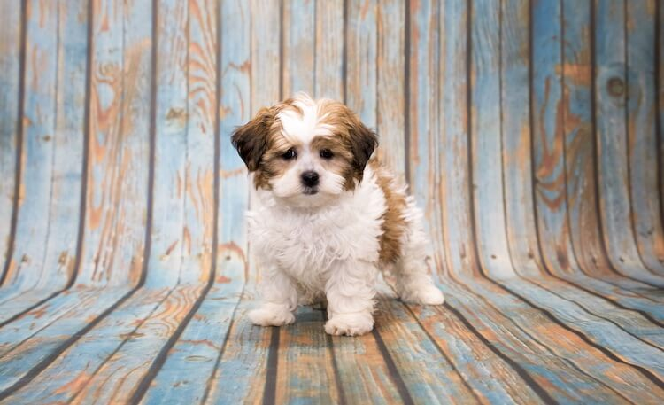 Shih Poo Everything You Need To Know About A Shih Tzu