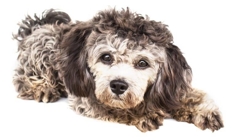 Shih Tzu Poodle Mix