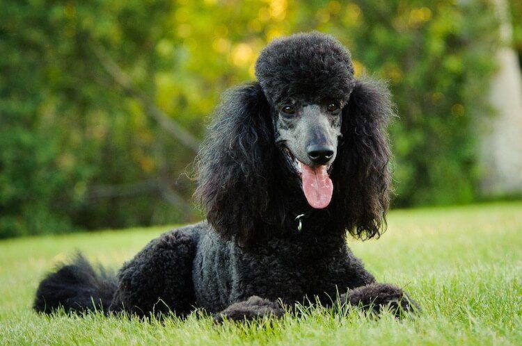 Standard Poodle