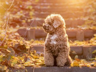 Toy Poodle Feature
