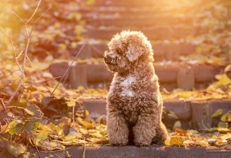 Toy Poodle A Complete Guide To The Fluffiest Cutest