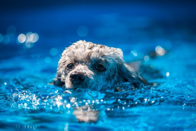 Toy Poodle Swimming