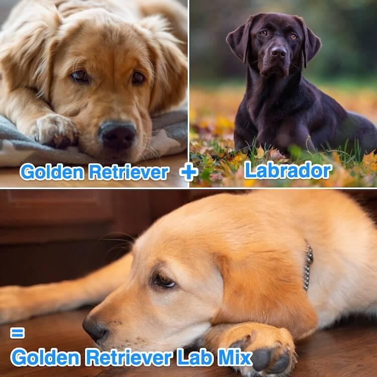 What Is A Golden Retriever Lab Mix?