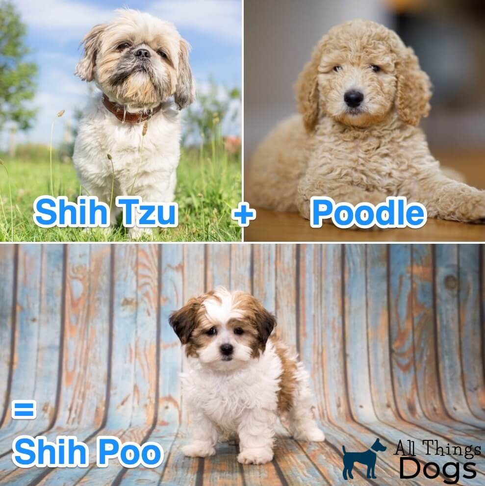 What Is A Shih Poo?