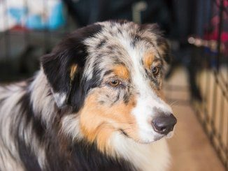 Australian Shepherd Mix Feature