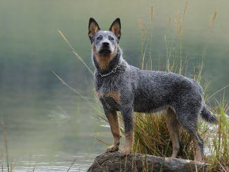 Blue Heeler Feature