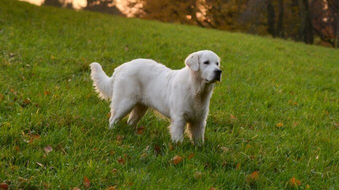 English Cream Golden Retriever Feature
