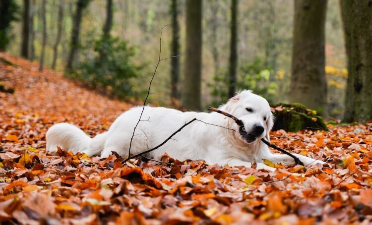 English Cream Golden Retriever In The Forest