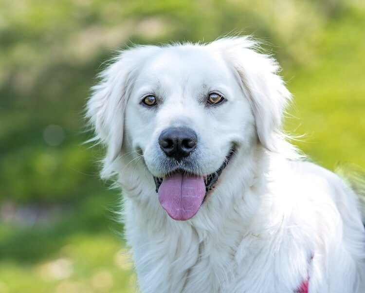 English Cream Golden Retriever Portrait
