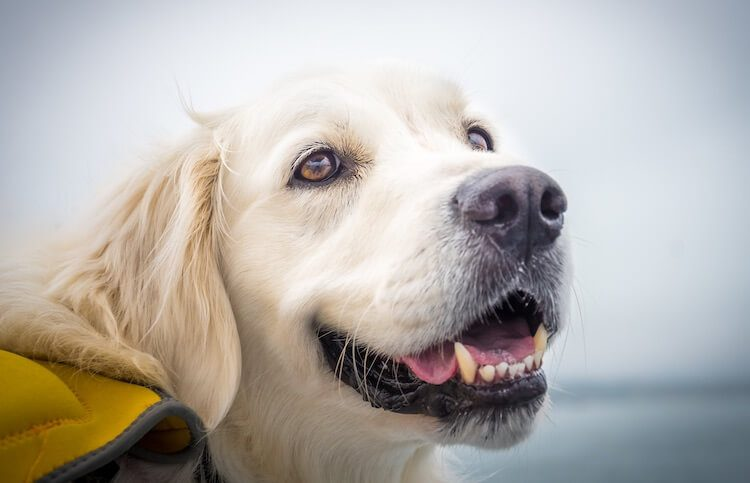 English Cream Golden Retriever Smiling