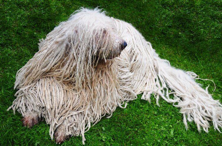 Hungarian Sheepdog Appearance