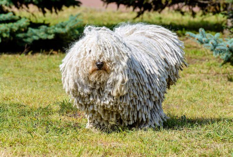 Hungarian Sheepdog