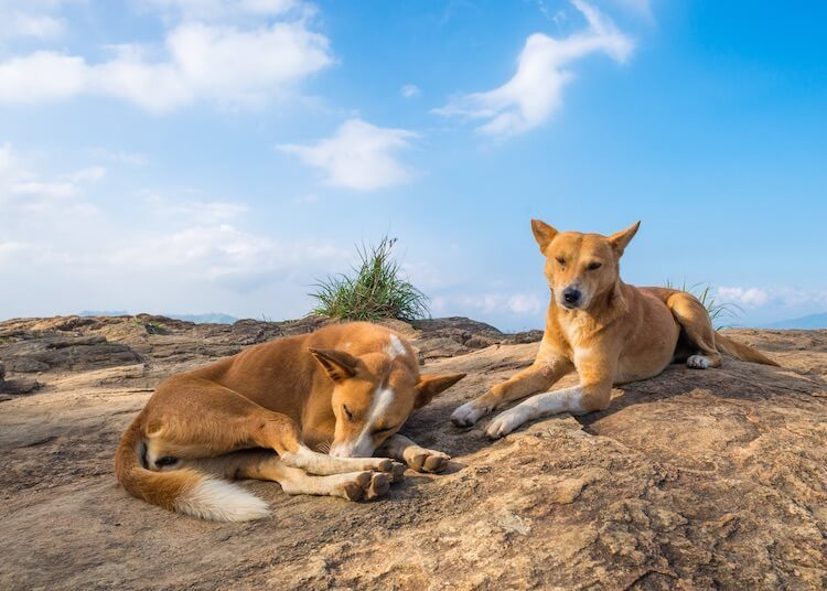 Indian Dogs