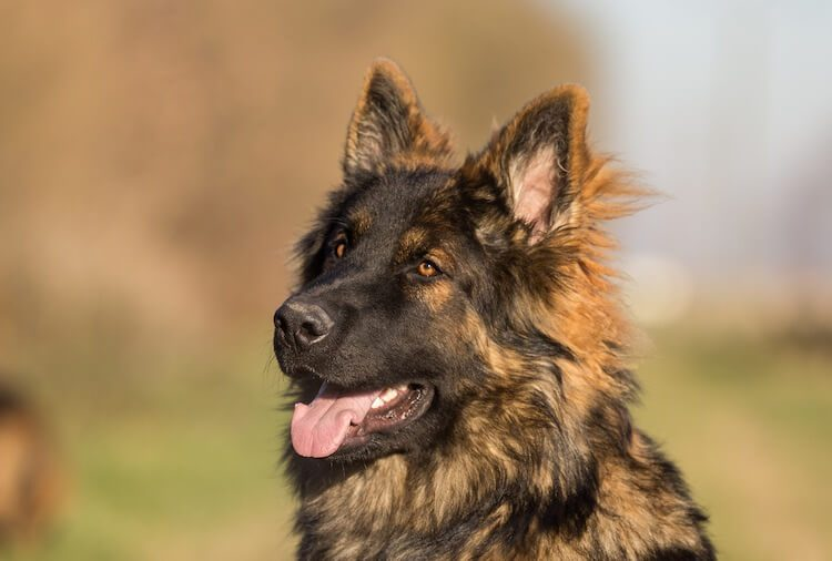 Long Haired GSD Face