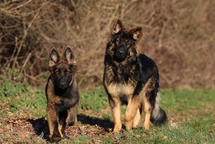 Long Haired German Shepherds