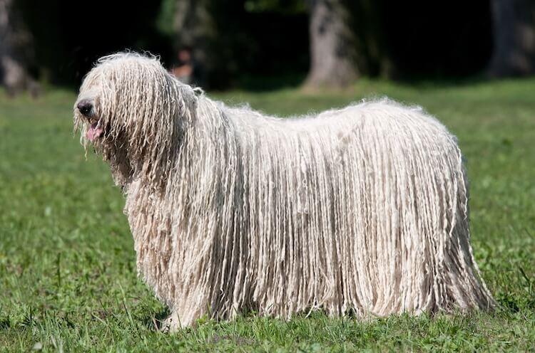 Mop Dog Portrait