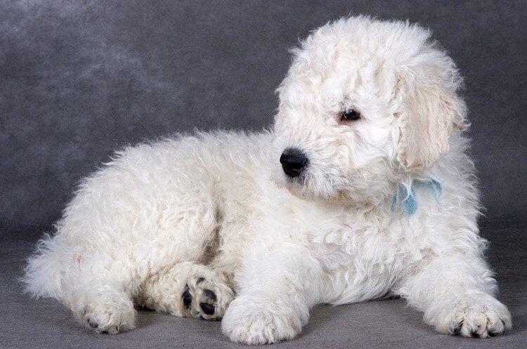 Mop Dog Puppy