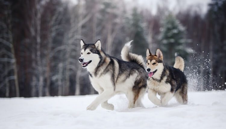 Pack of Alaskan Dogs