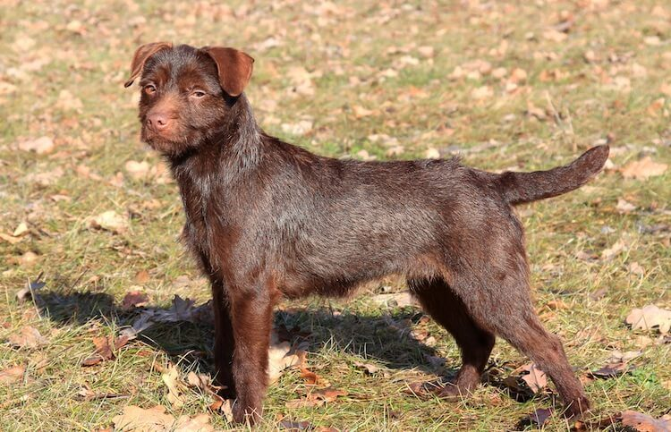 Patterdale Terrier Dog