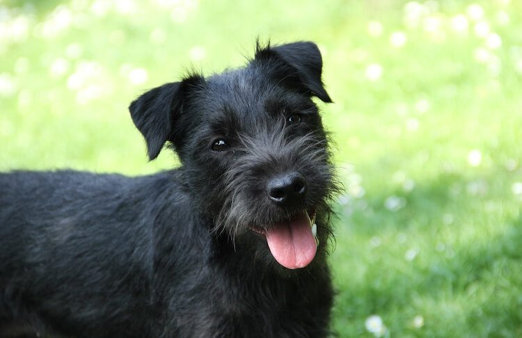 Patterdale Terrier Feature