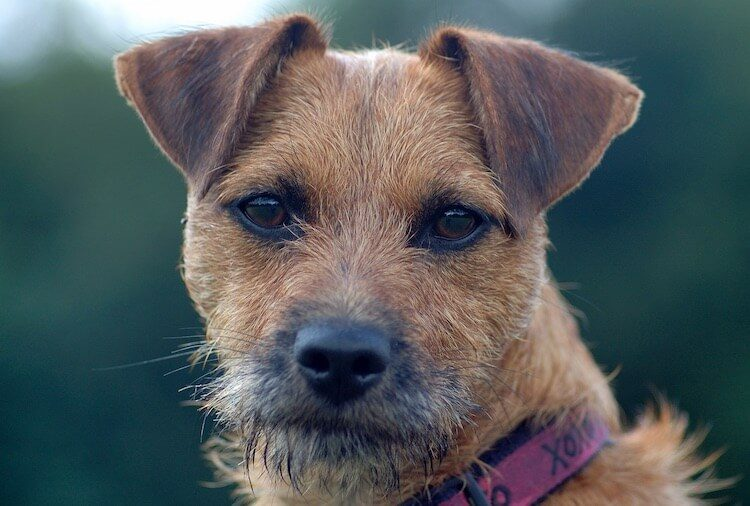 Patterdale Terrier Portrait