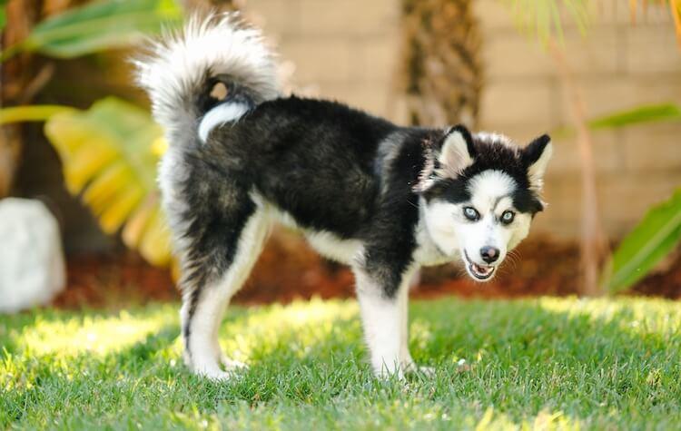 Pomeranian Husky Dog