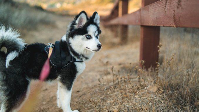 Pomeranian Husky Feature