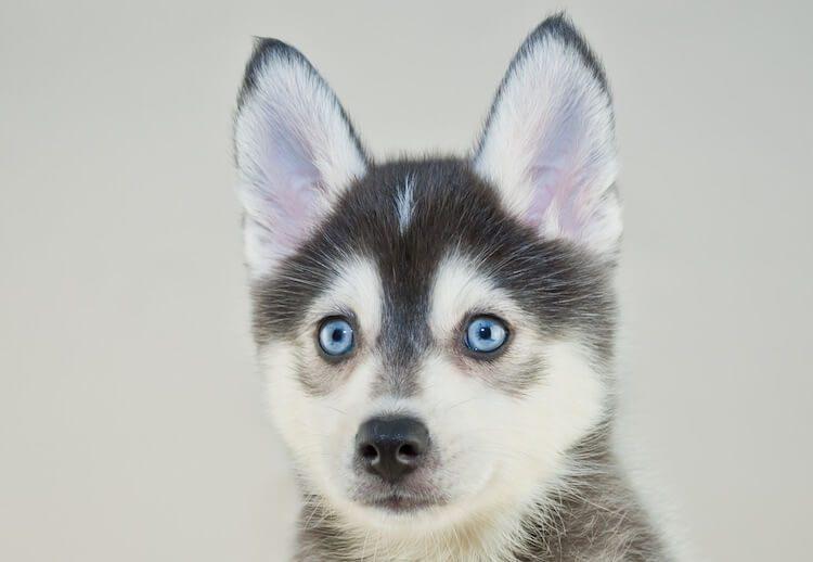 Pomeranian Husky Portrait