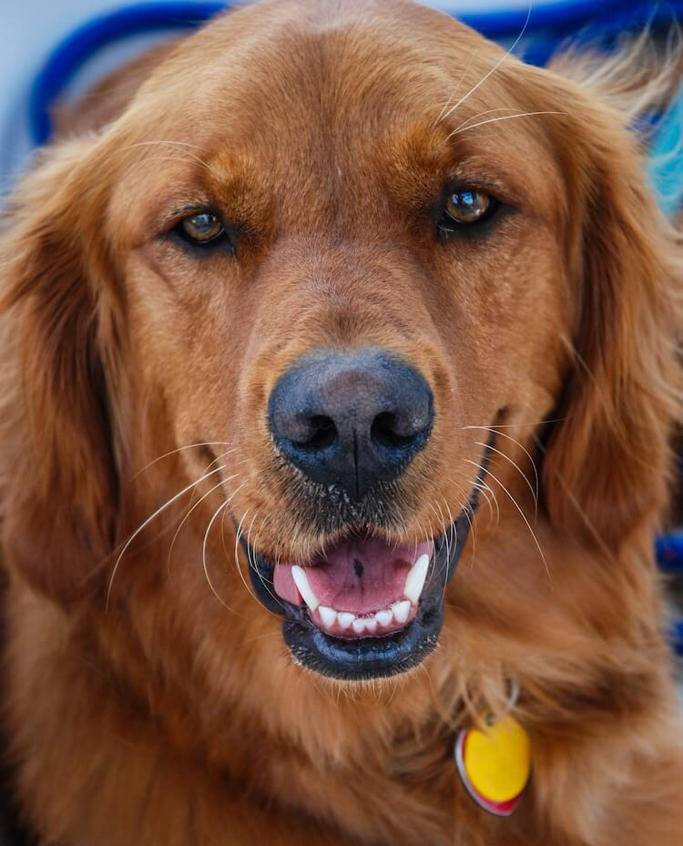 Red Golden Retriever The Complete Dog