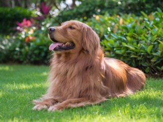 Red Golden Retriever Feature