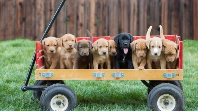 Toy Dog Breeds