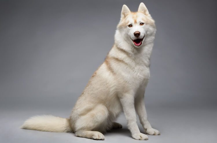 White Husky Dog Guide Price Puppies