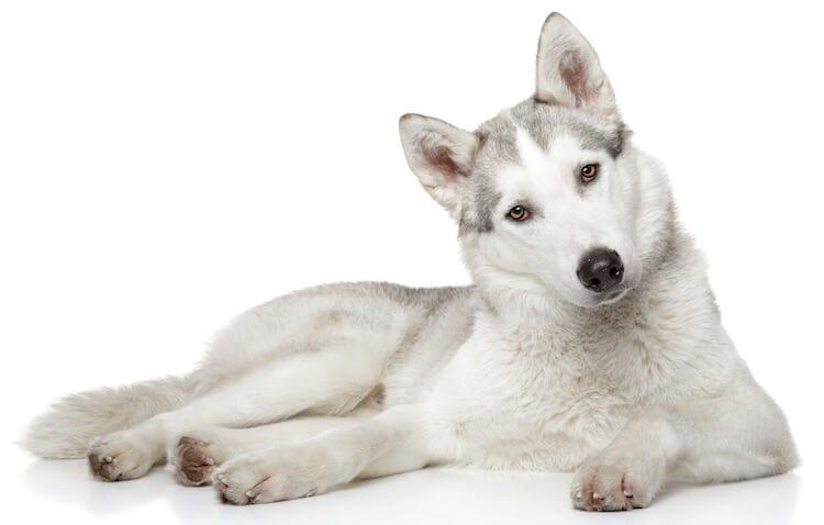 White Husky Feature