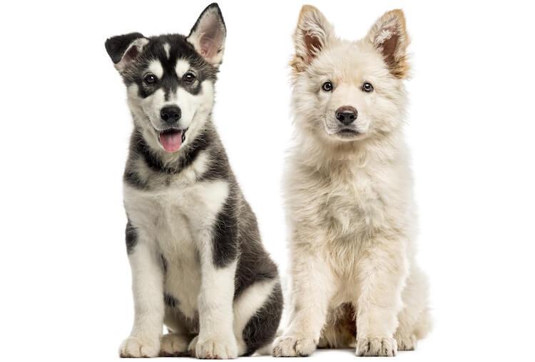 White Husky Puppy