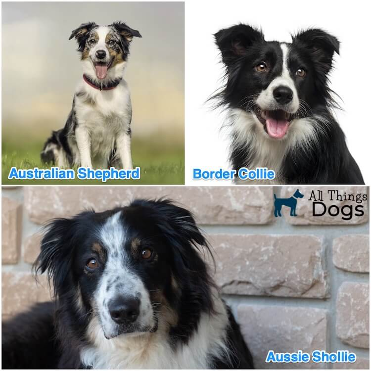 Aussie Collie Mix Breed