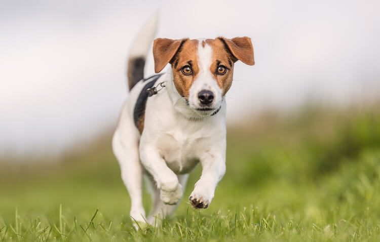 Beagle x Jack Russell Terrier Mix